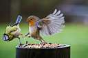 two birds fighting over food
