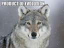 Evolution vs Intelligent Design #wolf #dog #pug