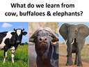 what do we learn for cows, buffaloes and elephants #green #grass #fat