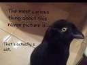 The most curious past of this Raven picture is that its not a Raven #cat