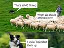 Dog rounded up the sheep